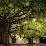 arbre_cuba