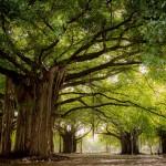 cuba arbres